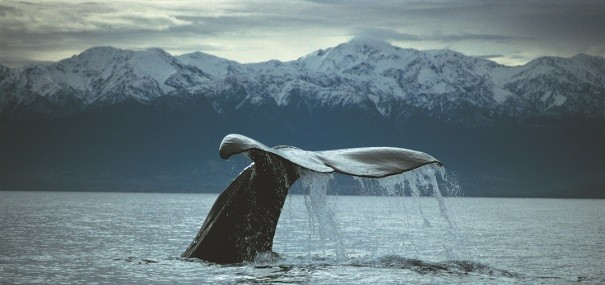 Kaikoura Whale Watch Tour from Christchurch