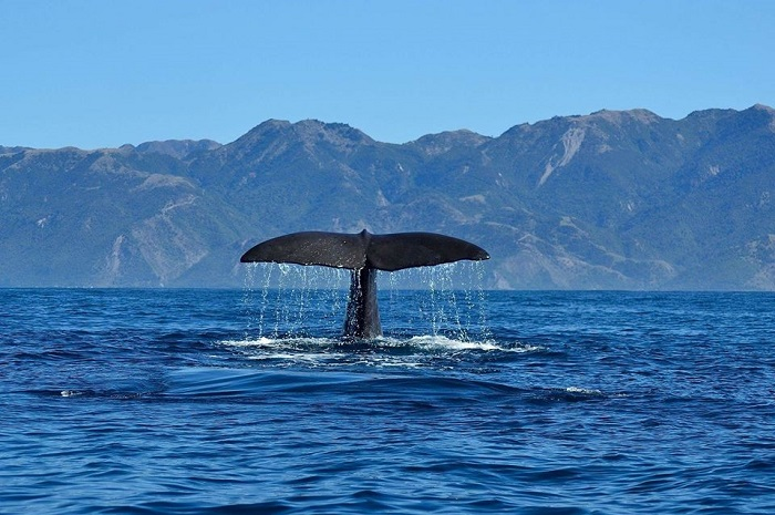 Kaikoura Whale Watch Tour with Lunch from Christchurch