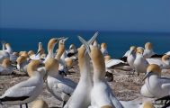 Cape Kidnappers Gannet Safaris Tour