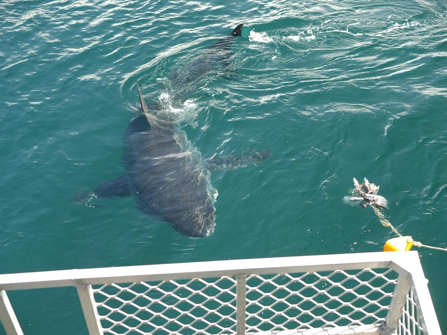 Full Day Shark Experience Sightseeing Tour