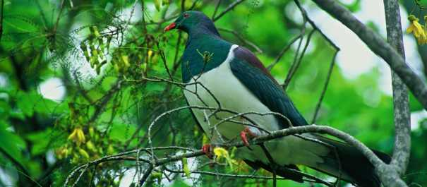 NZ Native Wood Pigeon